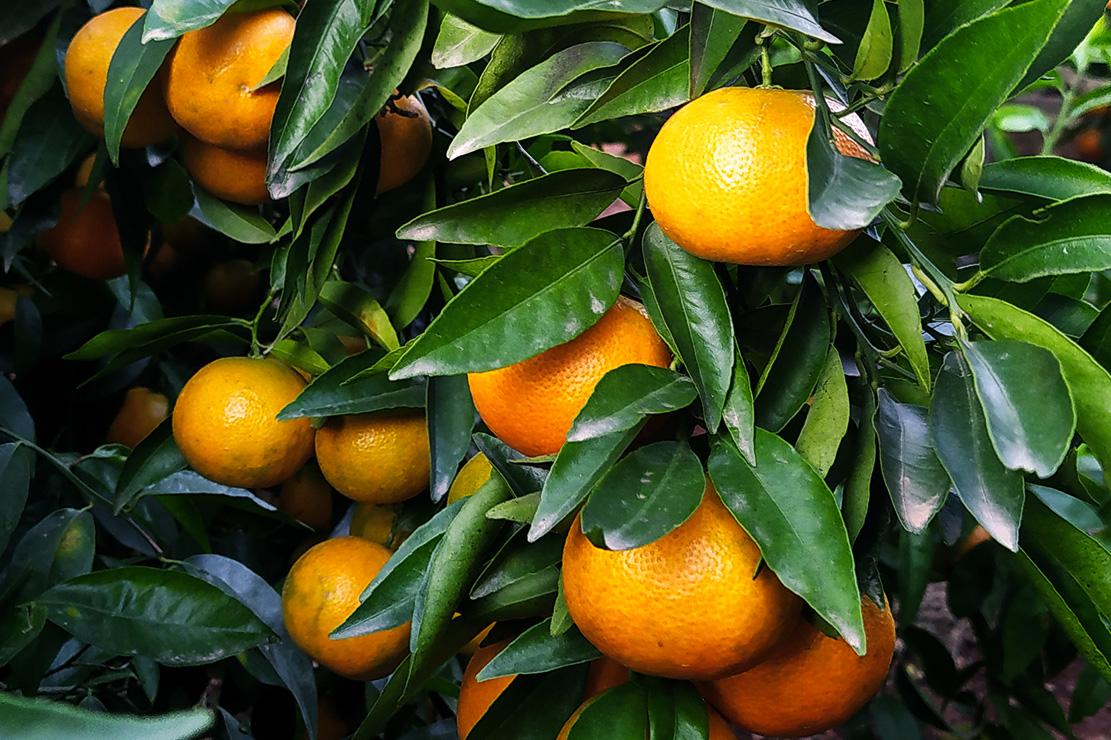 naranjastaurinas-producto-mandarinas