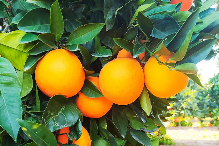 producto-naranjas2